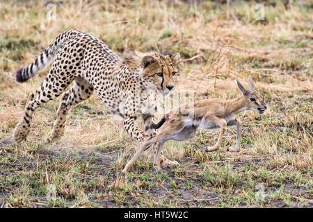 Ghepardo (Acinonyx jubatus) a caccia di capretti Gazelle, il Masai Mara Foto Stock