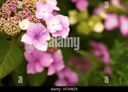 Rosa fiori di ortensie in un paese di lingua inglese il giardino. Foto Stock