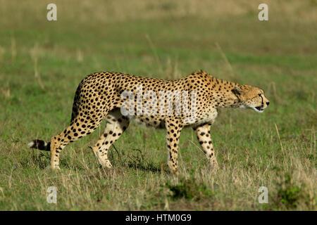 Ghepardo (Acinonyx jubatus) sul prowl, il Masai Mara riserva nazionale, Kenya, Africa orientale Foto Stock