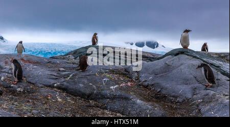 Pinguini di Gentoo i membri della colonia permanente sulla roccia con le montagne e il ghiacciaio in background, Foto Stock