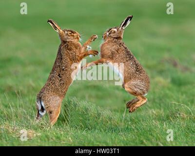 European brown hare boxe Foto Stock