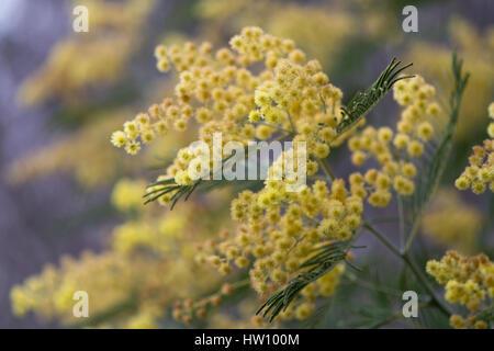 fioritura albero fogliame Argenteo acacia dealbata SILVER Canniccio Giallo Mimosa