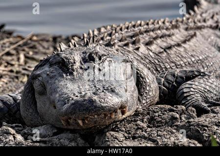 Una molto grande coccodrillo americano si crogiola al Donnelley Wildlife Management Area Marzo 11, 2017 in stagno verde, nella Carolina del Sud. Il conservare è parte di un più ampio bacino di ACE natura rifugiato, uno dei più grandi non sviluppata negli estuari lungo la costa atlantica degli Stati Uniti. Foto Stock
