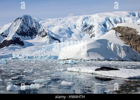 Leopard in appoggio di tenuta su ghiaccio floe, penisola Antartica Foto Stock