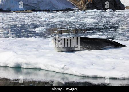 Leopard in appoggio di tenuta su ghiaccio floe, Penisola Antartica, Antartide Foto Stock