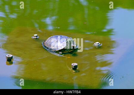 Una tartaruga in un stagno di Nabeshima Shoto Koen Park Shibuya Tokyo Giappone Foto Stock