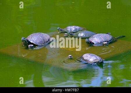Le tartarughe marine in un stagno di Nabeshima Shoto Koen Park Shibuya Tokyo Giappone Foto Stock