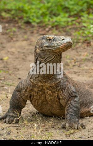 Drago di Komodo, Varanus komodoensis sull isola di Rinca, Indonesia Foto Stock