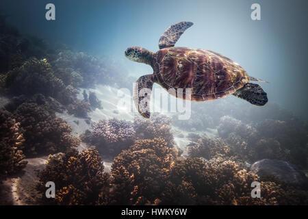 Tartaruga Verde (Chelonia Mydas) Foto Stock