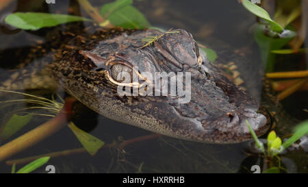 Close-up del bambino / bambino coccodrillo nella Louisiana Swamp lungo Pintail Wildlife Drive a Cameron Prairie National Wildlife Refuge in Louisiana Foto Stock