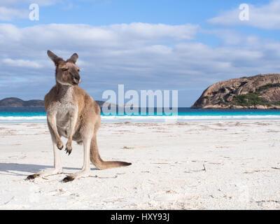 Kangaroo sulla spiaggia nella baia di fortunati, Cape Le Grand National Park, Australia occidentale Foto Stock