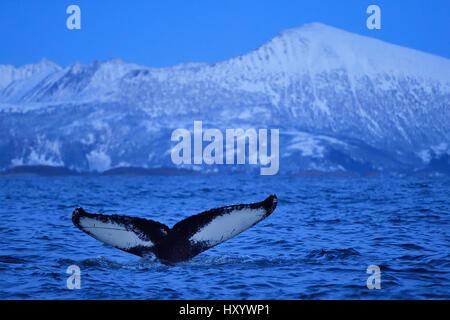 Humpback Whale (Megaptera novaeangliae) fluke di coda al di sopra dell'acqua prima di immersioni subacquee, Senja, Foto Stock