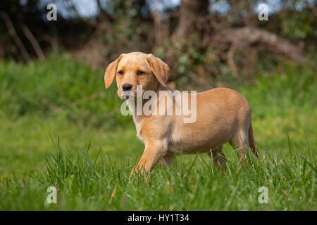Giallo Labrador retriever puppy in giardino, UK, Aprile. Foto Stock