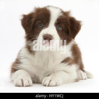Il cioccolato Border Collie cucciolo, 7 settimane di età. Foto Stock
