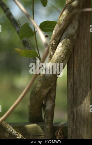 Twisted vine Foto Stock