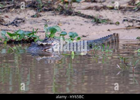Caimano Yacare (yacare Caimano) divorando un lupo di mare, Cuiaba river, Pantanal, Mato Grosso, Brasile Foto Stock