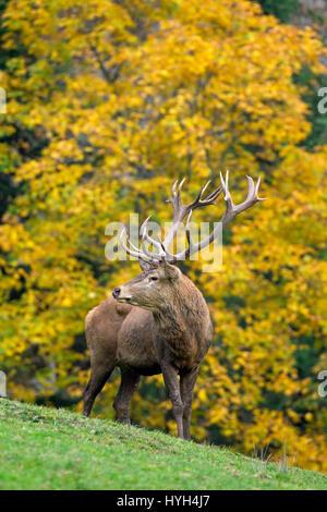 Il cervo (Cervus elaphus) stag durante la stagione di solchi nella foresta di autunno Foto Stock