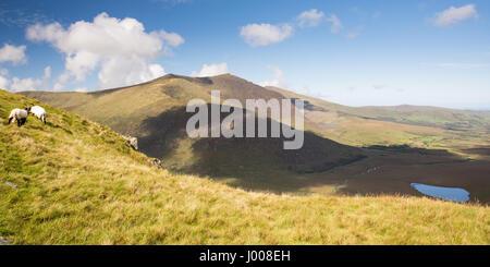 Pecore pascolano sulla brughiera al di sopra del Conor Pass attraverso le montagne di irlandese della penisola di Foto Stock