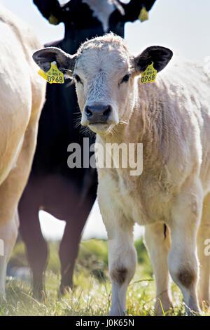 Vitello tra mucche sul prato Foto Stock