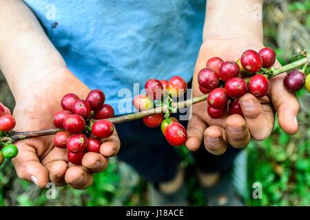 Ragazzo giovane trattiene il ramo della maturazione dei chicchi di caffè, Antigua, Guatemala, America centrale Foto Stock