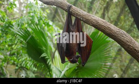 Frutto Bat/ MegaBat/ Indiano flying fox/ Pipistrelli/ Bat in appoggio su albero/ Pteropus vampyrus/ del Vecchio Foto Stock