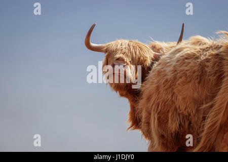 Highland mucca, Highland Bovini, Hairy Moo Coo Foto Stock