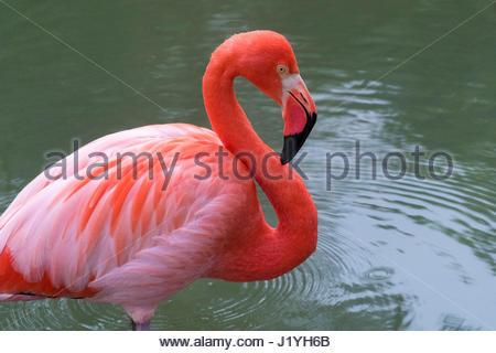 Flamingo colorato uccello in un lago cubano. Fenicotteri fenicotteri o sono un tipo di trampolieri nella famiglia Foto Stock