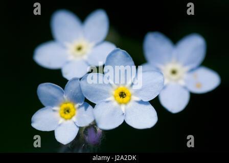 I fiori dell'acqua dimenticare-me - non (Myosotis scorpioides) Foto Stock