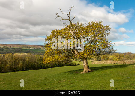 Drammatica vecchia quercia in sole primaverile, Askwith, West Yorkshire, Regno Unito Foto Stock