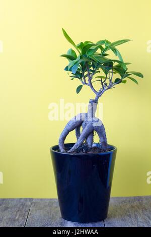 Ficus ginseng in una pentola su sfondo giallo Foto Stock