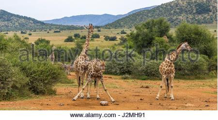 Una giraffa divarica le sue gambe per raggiungere un sale-leccare nel parco nazionale di Pilanesberg. minerali ricchi Foto Stock