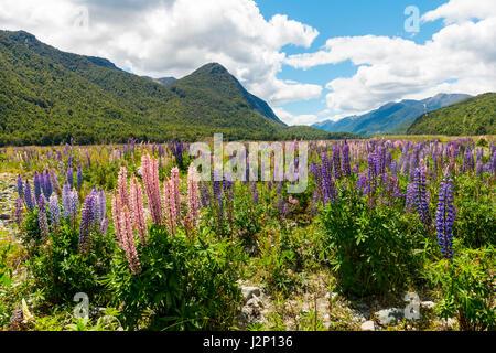 Viola di grande lasciarono i lupini (Lupinus polyphyllus) nella parte anteriore del paesaggio di montagna, Parco Foto Stock