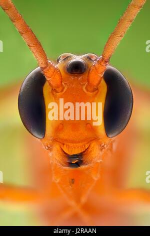 Extreme ingrandimento - Cremastinae wasp Foto Stock