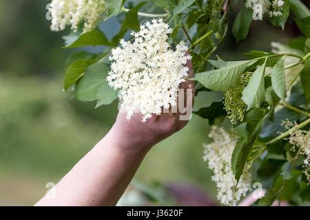 Benvenuti in Repubblica ceca - La raccolta di sambuco blossom flower Foto Stock