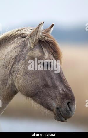 Konik Pony, ritratto del singolo adulto in reedbed, Minsmere, Suffolk, Regno Unito Foto Stock