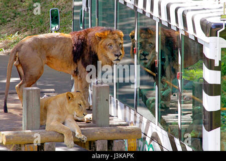 Lion autobus a Tama parco zoologico Hino city Tokyo Giappone Foto Stock