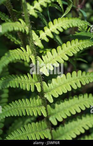 Esempio di Dryopteris filix-mas / comune felce maschio foglie. Foto Stock