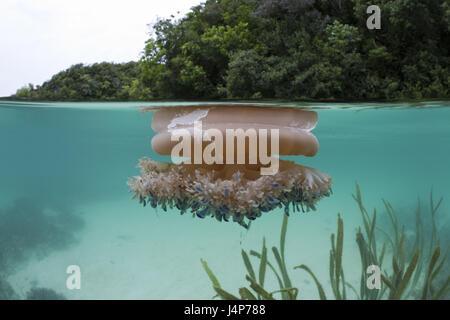 Registrazione subacquea, bocca di radice meduse, Rhizostoma octopus, acqua di superficie, Foto Stock
