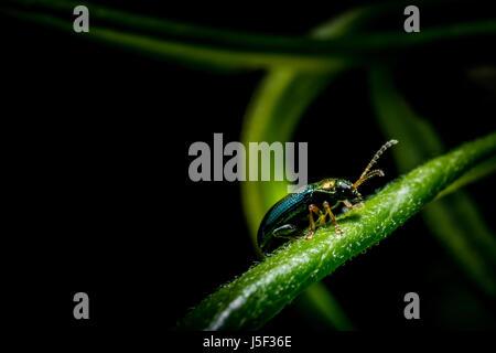 Piccolo bug metallico su erba verde nella foresta foto macro Foto Stock