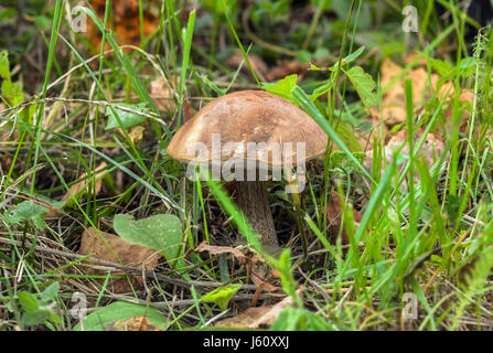 Brown Birch Bolete crescente tra l'erba (Leccinum scabrum) Foto Stock