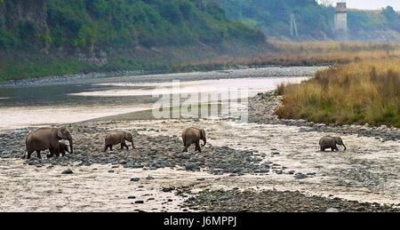 Branco di elefanti Foto Stock