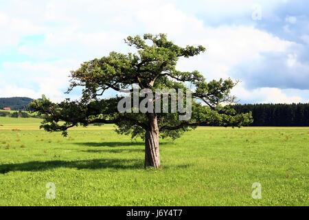 Il vecchio albero da frutto in un prato Foto Stock