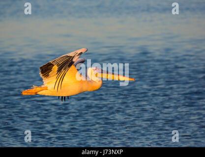 Pellicani sono un genere di grandi uccelli acquatici che compongono la famiglia Pelecanidae. Essi sono caratterizzati Foto Stock