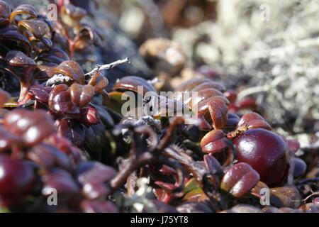 Close-up di bassa-boccola di mirtilli rossi, a cui si fa riferimento anche come lingonberries riscontrati in una Foto Stock