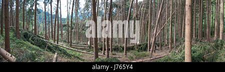 Gravi danni provocati dalla tempesta dopo un temporale in un bosco di conifere. Vista panoramica della foresta di magazzino. Foto Stock