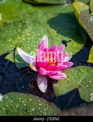 Una rosa acqua giglio fiore e piazzole di foglia Foto Stock