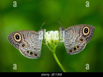 Butterfly, comune anello di cinque Butterfly coppia, coppia amorosa, fiori, Natura, amore, ogni altra, Foto Stock