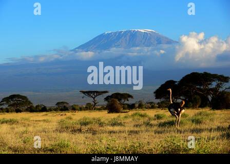 Uno struzzo in Amboseli National Park in Kenya. Il Monte Kilimanjaro torreggiante dietro. Foto Stock