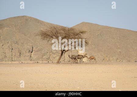 Un piccolo gruppo di dromedari( cammelli) trova rifugio sotto un albero di acacia durante il calore del giorno nel Foto Stock
