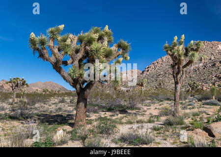Joshua alberi in fiore nel parco nazionale di Joshua Tree, CALIFORNIA, STATI UNITI D'AMERICA Foto Stock